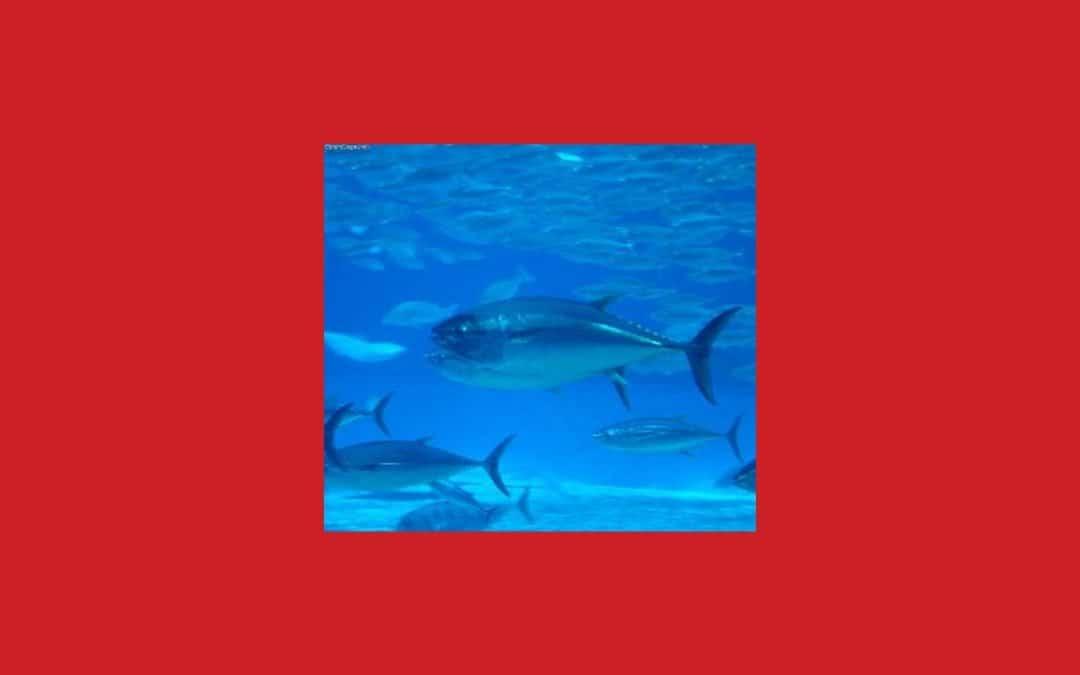Slow Food : hausse alarmante des nouveaux quotas ICCAT pour la pêche au thon