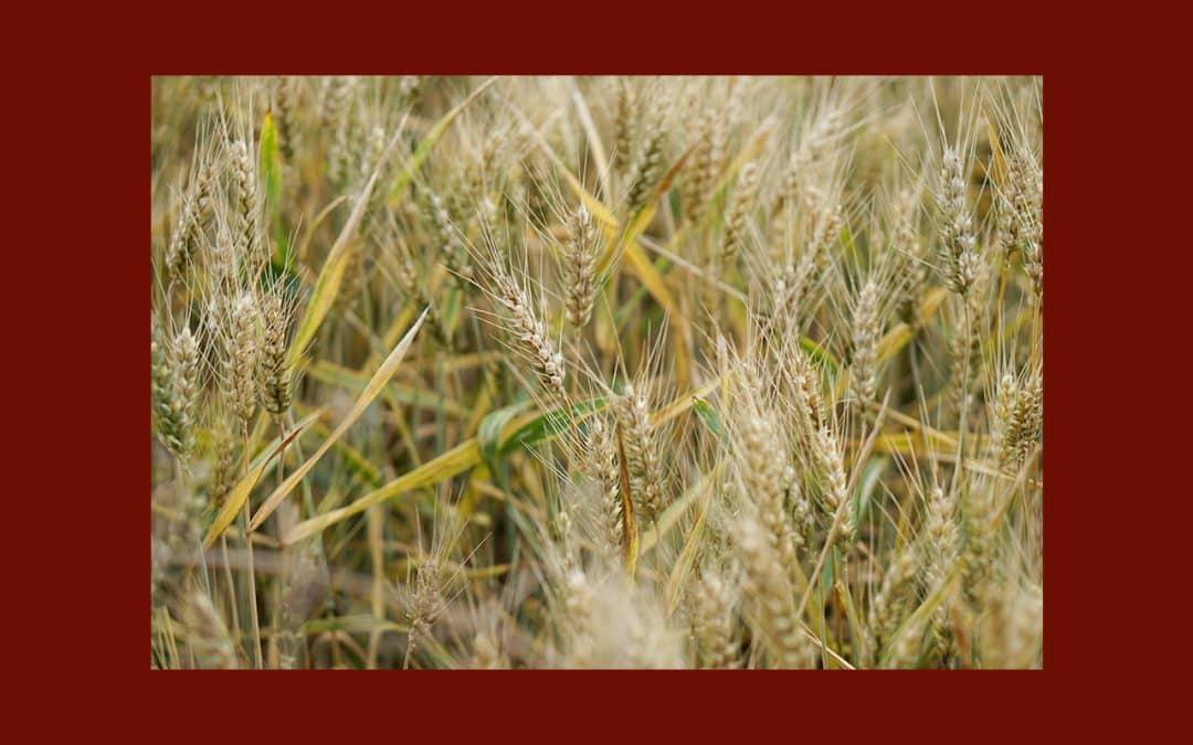 Agriculteurs Bio : Liberté retrouvée sur les semences !