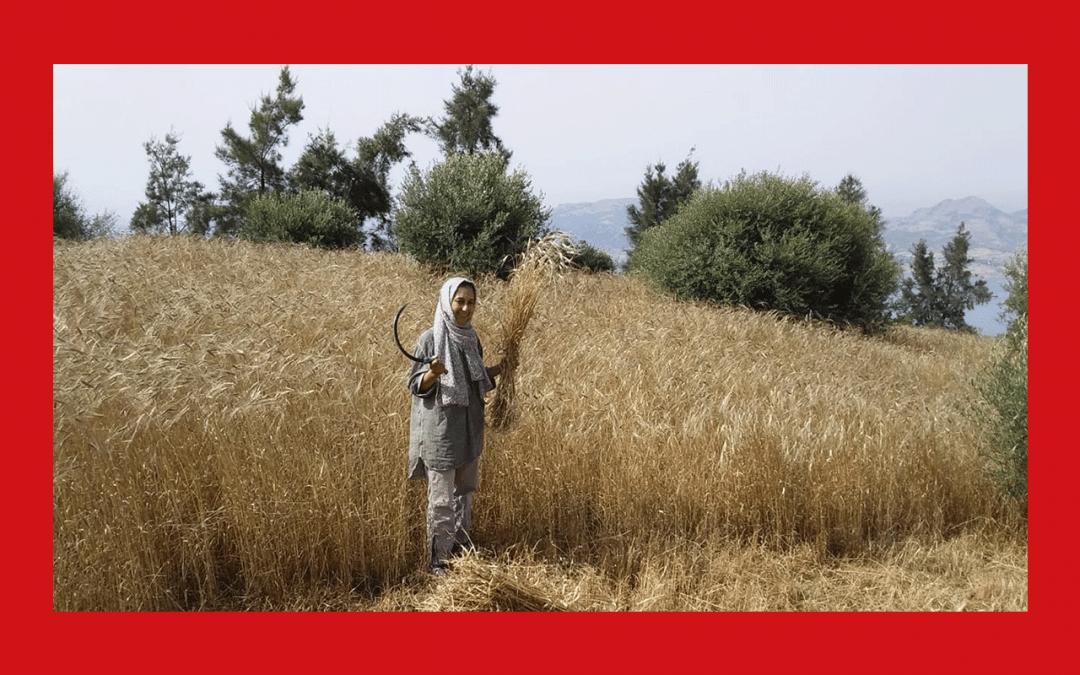 Slow Food lance une nouvelle Sentinelle pour prévenir l'extinction d'une ancienne variété de blé marocain