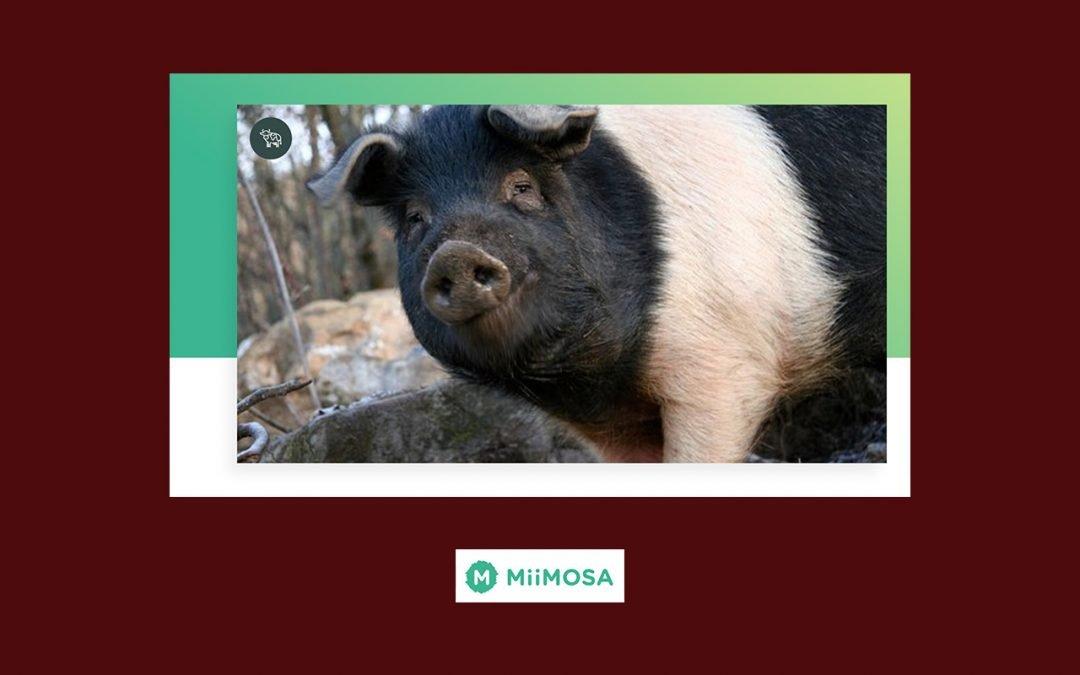 Participons au repeuplement porcin de la Bresse et des Savoie