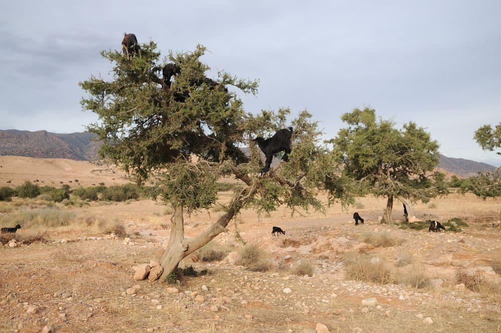 L'huile d'argan alimentaire : délice méconnu, dans un écosystème en danger